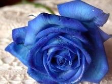 Японцы вывели голубую розу
