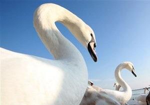 В Тернопольской области спасатели освободили лебедей из ледового плена