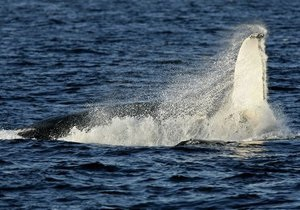 Австралийские защитники природы взорвали больного кита