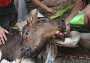 В Грузии родился двухголовый теленок с тремя ушами и четырьмя глазами