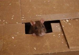 СМИ: В Киеве из-за жары увеличилось количество крыс. В СЭС просят не паниковать