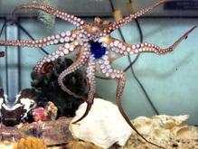 Британцы обнаружили аномального осьминога