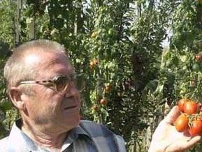 Ужгородский огородник вырастил четырехметровые помидоры