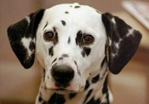 В Лондоне потерявшийся далматин доехал на автобусе до собачьего приюта