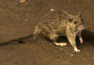 Археологи обнаружили самых больших крыс, когда-либо живших на Земле