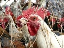 Птичий грипп обнаружен в Турции