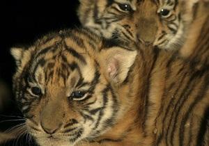 В Германии за убийство трех тигрят судят директора одного из зоопарков