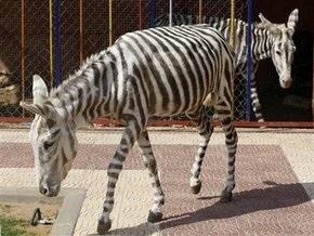 В зоопарке Газы две ослицы превратились в зебр