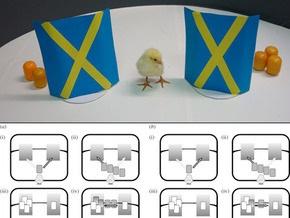 Цыплята проявили способности к арифметике - эксперимент