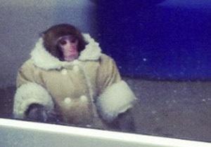 В Торонто в магазин IKEA пришла обезьяна в пальто