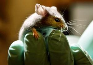 Биологи искуственно состарили мышь