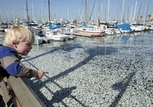 Фотогалерея: Рыбный день. На побережье Калифорнии вынесло миллион мертвых сардин