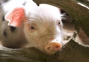 На шведской ферме поросенок пытается добиться расположения быка-производителя