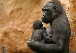 Ученые: Часть генома гориллы ближе к человеку, чем к шимпанзе