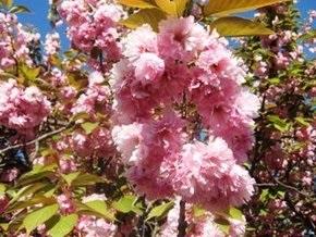 В Ужгороде цветет сакура