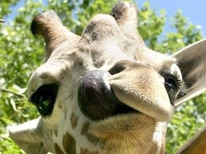 Жираф, умерший в киевском зоопарке, свернул шею
