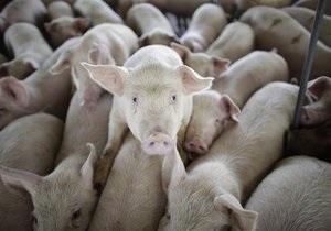 В РФ зафиксировали вспышку африканской чумы свиней