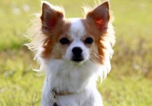 В Японии чихуахуа стал собакой-спасателем