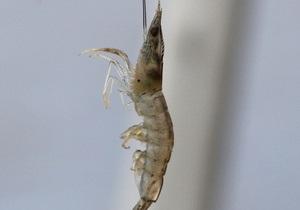 В водоемах Британии появилась креветка-убийца, которая уничтожает популяции других насекомых
