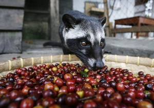 Фотогалерея: Кто-то это уже ел. Как делают самый дорогой кофе в мире