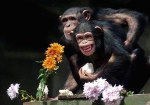 Ученые: шимпанзе, как и люди, больше доверяют авторитетам