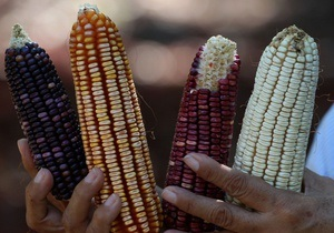 Азаров обеспокоен падением цен на кукурузу