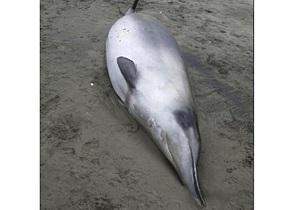 Биологи впервые обнаружили редкий вид китов