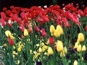 В Крыму зацвело самое большое в мире поле тюльпанов