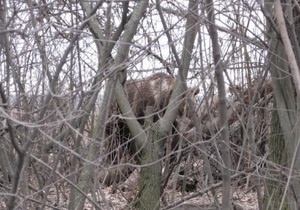 Под Луцком разгуливает медведь