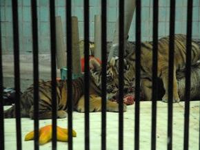 В Киевском зоопарке открыли детский сад для тигрят