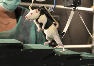Американские ученые научили крыс осязать инфракрасный свет
