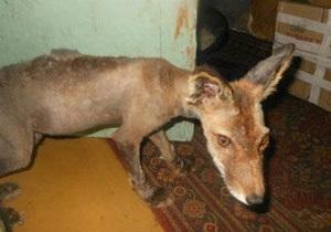 Новости России: Жительница Сахалина приютила у себя лысого лиса