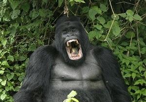 Киевский зоопарк устраивает праздник для гориллы