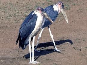 Из ялтинского зоопарка улетели на свободу два крупных марабу