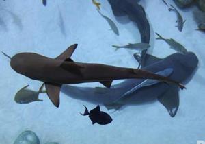 новости Киева - Ocean Plaza - акула - Через месяц в ТРЦ Ocean Plaza прибудет новая акула на смену погибшей
