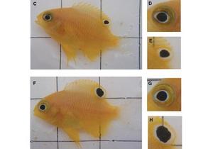 Новости науки: Испуганные рыбы отращивают глаза на хвосте