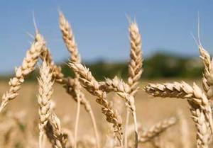 Германия впервые за десять лет начнет импорт пшеницы
