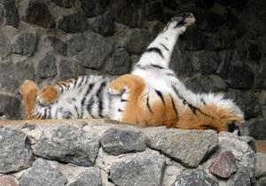 В киевском зоопарке заявили о тяжелой болезни тигра
