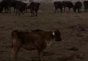 Последняя надежда коров Фукусимы - видео