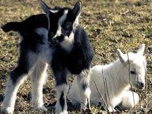 Белорусских козлят с человеческими генами скоро будут спаривать