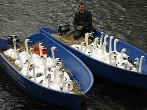 Фотогалерея: Великое лебединое переселение