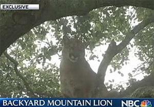 В Калифорнии овчарка загнала на дерево взрослую пуму