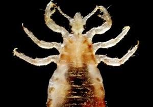 Платяная вошь обладает самым маленьким среди насекомых количеством генов