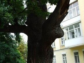 Экологи защитят уникальные киевские многовековые деревья