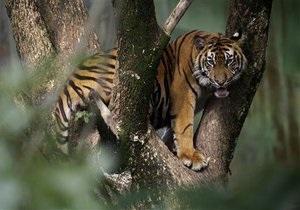 Сотрудницу британского зоопарка растерзал тигр