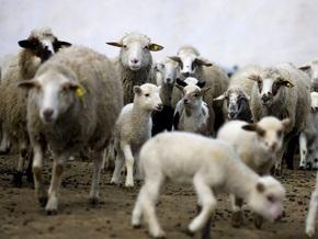 Японский ученый вырастил в овце дополнительный орган для пересадки
