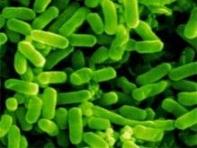 Ученые выяснили длину полового органа у бактерий