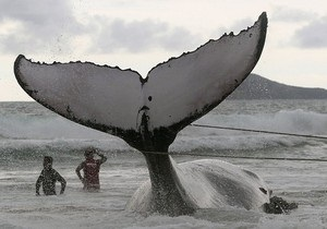 Исследование: У горбатых китов есть свои любимые хиты