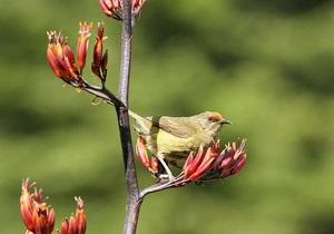 В новозеландском заповеднике поселилась птица-транссексуал