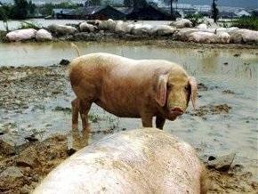 Полсотни свиней парализовали движение в Пекине